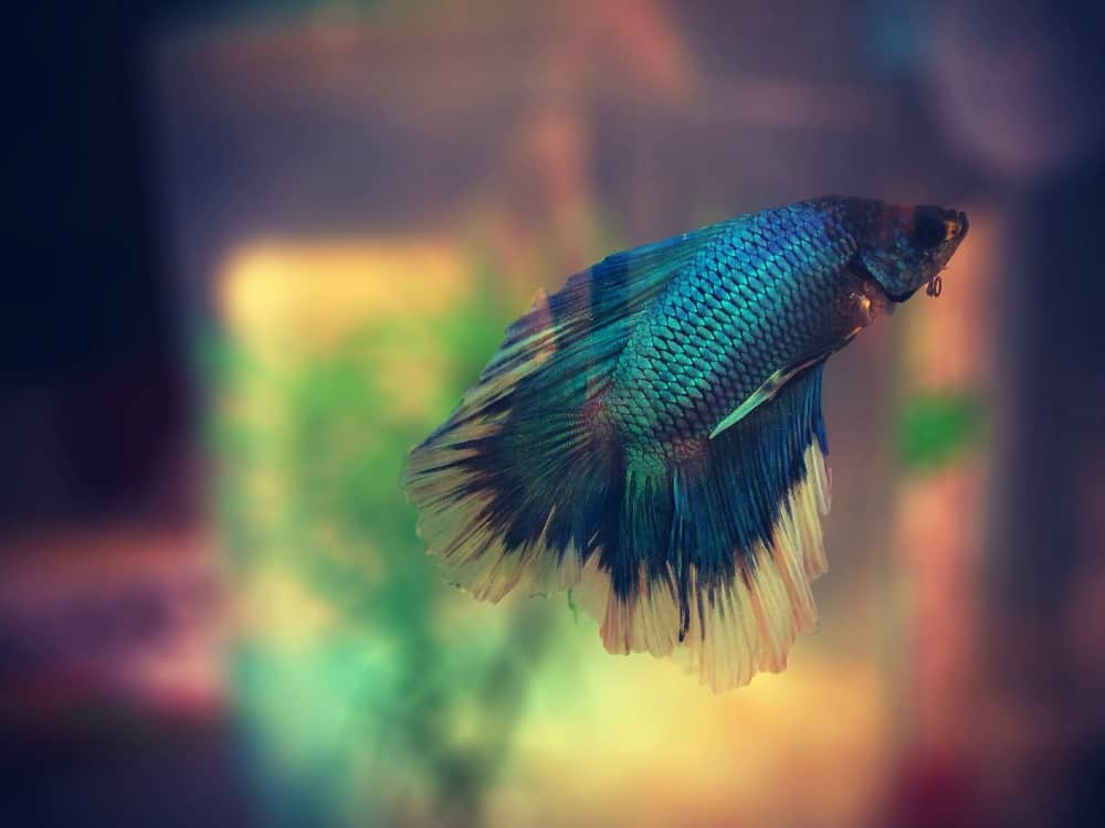 How to care for betta fish when on vacation other people for How to care for a betta fish