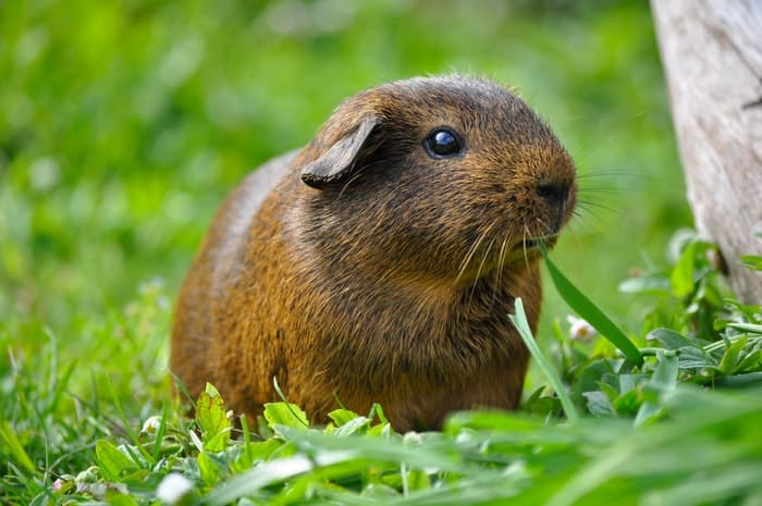 caring for guinea pigs